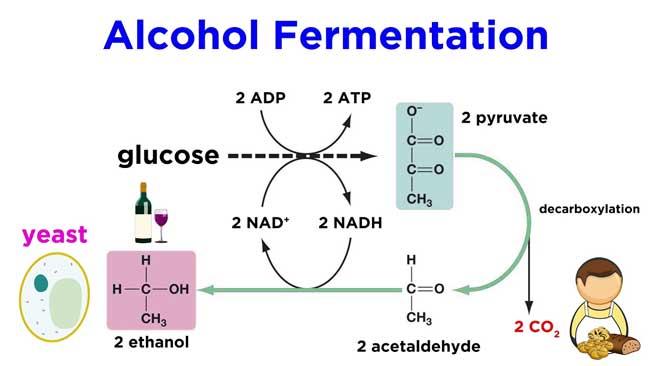 Alcohol-fermentation
