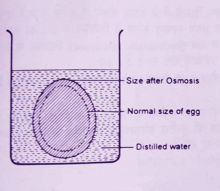 egg-osmosis